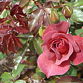 Chocolate Rose by James Hammen