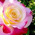 Choice Garden Rose by Will Borden