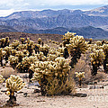 Cholla Cactus Garden by Bob Phillips