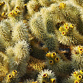Cholla Cactus Garden Mirage by Kyle Hanson