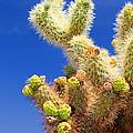Cholla Cactus I By Diana Sainz by Diana Raquel Sainz