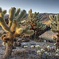 Cholla Cactus by Photography by Laura Lee
