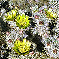 Cholla Flowers by Snake Jagger