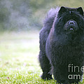Chow Chow Dog by Jean-Michel Labat