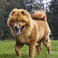 Chow Chow Dog by Johan De Meester