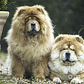 Chow Chow Dogs by Jean-Michel Labat