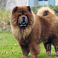 Chow Chow by Jean-Michel Labat