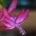Christmas Cactus Bloom by Mick Anderson