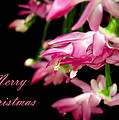 Christmas Cactus Greeting Card by Carolyn Marshall