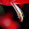 Christmas Cactus Pistil And Stamens by Rona Black