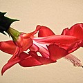 Christmas Cactus by Stephanie Moore