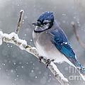 Christmas Card Bluejay by Cheryl Baxter