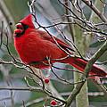 Christmas Cardinal by Jenny Gandert