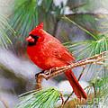 Christmas Cardinal - Male by Kerri Farley