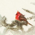 Christmas Cardinal by Susan Capuano