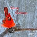 Christmas Red Cardinal by Nava Thompson