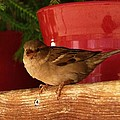 Christmas Finch by Dale Cash