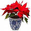 Christmas Flower  by IB Photography