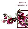 Christmas Hellebores by Helene U Taylor