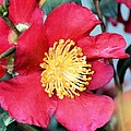 Christmas In A Flower by Maria Urso