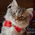 Christmas Kitten by Louise Heusinkveld