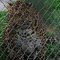 Christmas Leopard II by Phyllis Spoor
