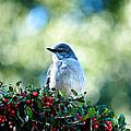Christmas Mockingbird by Andrew Chianese