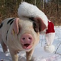 Christmas Pig by Samantha Howell