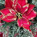 Christmas Poinsettia by Aimee L Maher ALM GALLERY