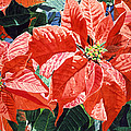 Christmas Poinsettia Magic by David Lloyd Glover