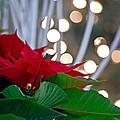 Christmas Poinsettia by Tracy Shrader