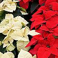 Christmas Poinsettia's by Carol Toepke