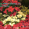 Christmas Poinsettias  by Lingfai Leung