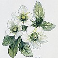 Christmas Rose by Nell Hill