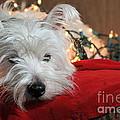 Christmas Westie by Catherine Reusch Daley