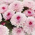 Chrysantemum Pink by Maj Seda