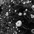 Chrysanthemes Original by Morgan  Veissiere