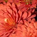 Chrysanthemum by Bernard Lynch