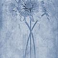 Chrysanthemum Cyanotype by John Edwards
