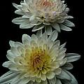Chrysanthemum by Diane Hawkins