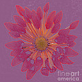 Chrysanthemum Digitally Softly Toned by Rosemary Calvert