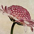 Chrysanthemum Domino Pink by John Edwards