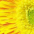 Chrysanthemum Flower Closeup by Jaroslav Frank
