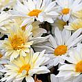 Chrysanthemum Flowers 4 by Johnson Moya