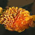 Chrysanthemum Gently Floating In The Fountain Of Campo De Fiori - Rome - Italy by Georgia Mizuleva