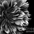 Chrysanthemum In Black And White by Eena Bo