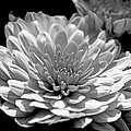 Chrysanthemum In Light And Shadow by Mother Nature