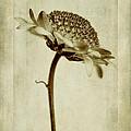 Chrysanthemum In Sepia by John Edwards