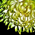 Chrysanthemum by Michelle McPhillips