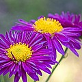 Chrysanthemum by Paulo Goncalves